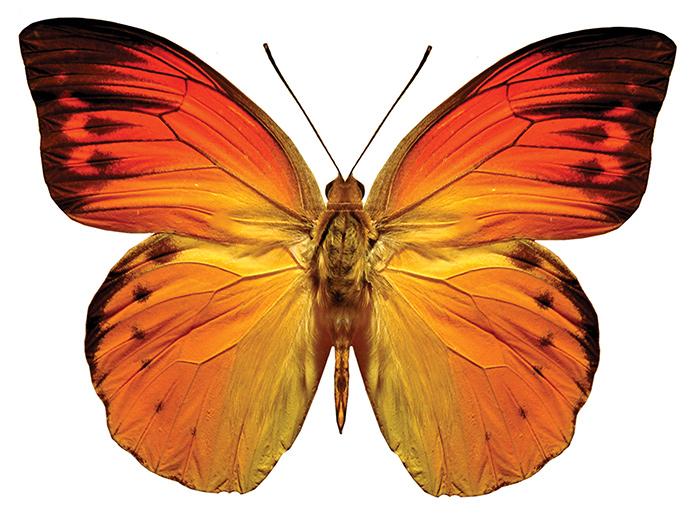 +kelebek